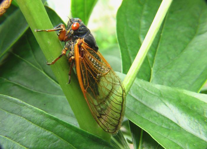 США готовятся к нашествию миллиардного выводка 17-летних цикад