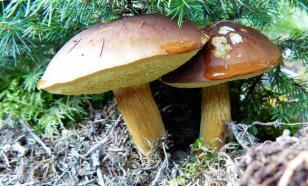 Как вырастить лесные грибы на дачном участке