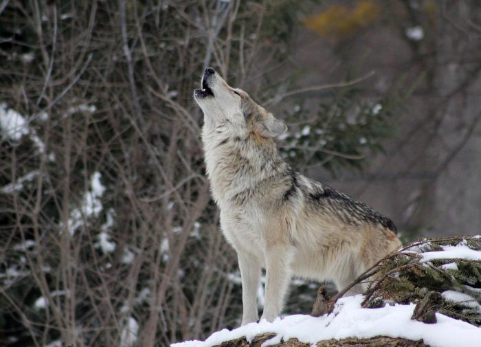 В Башкирии полицейский застрелил волка, который напал на людей