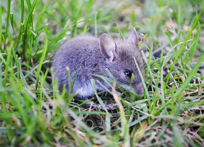 Австралия охвачена крысиной чумой библейских масштабов