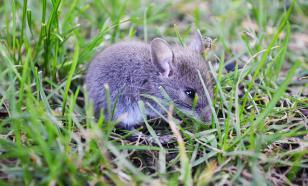 В Австралии фермерам нет спасения от нашествия полчищ крыс и мышей