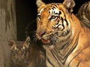 Тигр растерзал смотрителя зоопарка в Китае