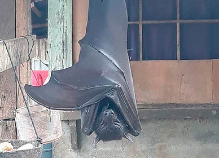 Фото летучей мыши с двухметровым размахом крыльев появилось в Сети