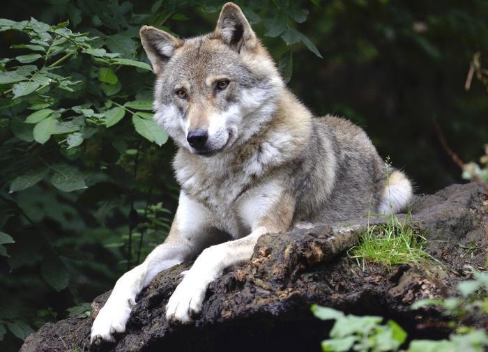 Зоопсихологи воспитали у волка привязанность к человеку