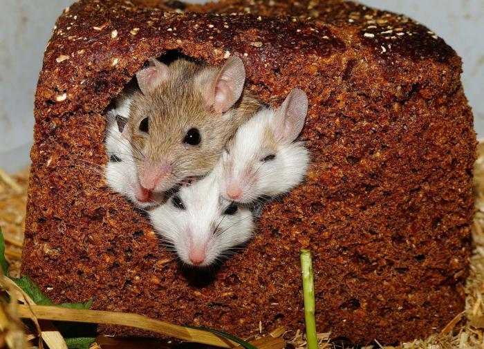 Из-за кишечных бактерий самки мышей стали равнодушны к потомству