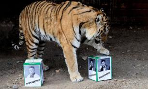 Российский тигр сделал прогноз на победу Зеленского
