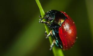 Жук-листоед может спасти людей от аллергии