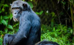 Биологи обнаружили у шимпанзе зачатки речи