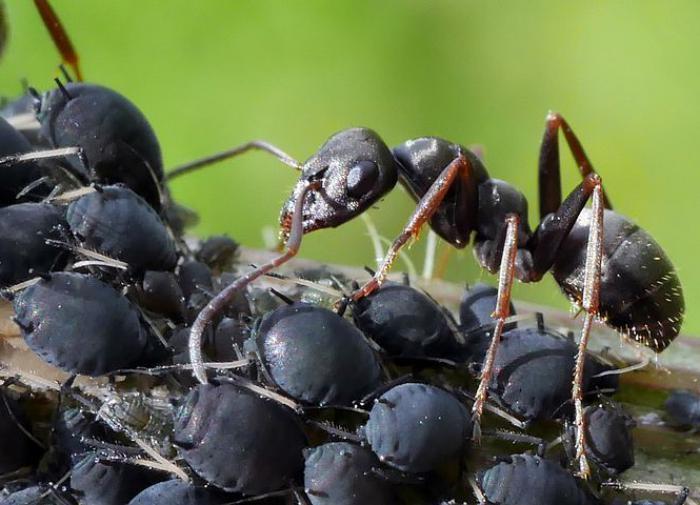 Чёрные огненные  муравьи построили сифон из песка, добывая жидкую пищу