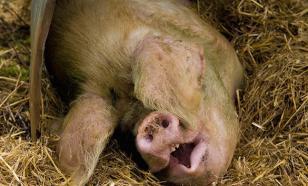 Европейцы аплодировали изуверским казням животных на скотобойне. Видео 18+