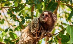 Зоологи открыли в Мьянме новый вид обезьян