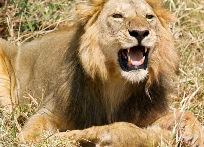 Львы-людоеды: Как часто их можно встретить?