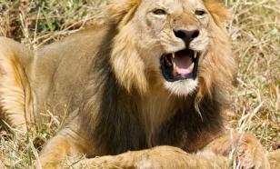 Львы-людоеды - это миф