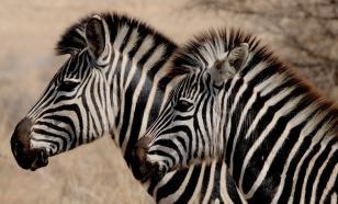 Зоологи объяснили, зачем зебре полоски