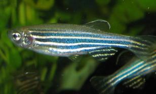 Учёные выяснили, как у рыб данио образуются полосы