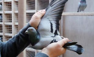 Китаец купил на аукционе в Бельгии голубя за €1,6 млн