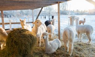 Заробитчане - главная надежда сельского хозяйства Финляндии