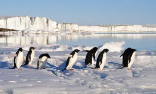 Найдена окаменелая шкура пингвина, жившего 43 млн лет назад