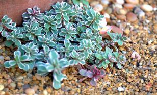 Седум - суккулентное растение