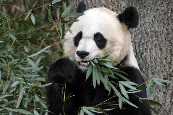 Китайские панды не всегда были зависимы от бамбука - ученые