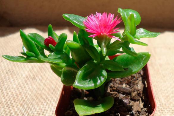 Аптения — суккулентное растение