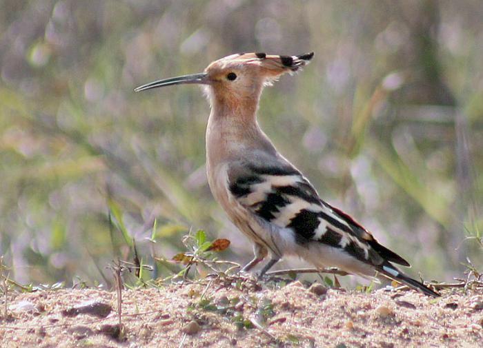 В американском заповеднике обнаружена птица полусамец-полусамка