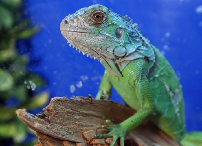 На Мадагаскаре обнаружили хамелеона, который считался вымершим