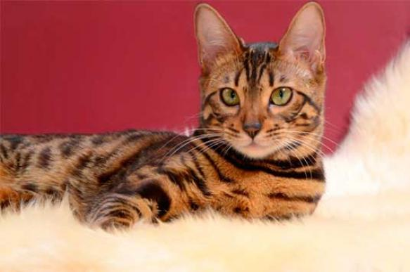 Бенгальская кошка - пятнистое чудо из джунглей
