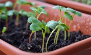 Оптимист и пессимист о проблемах рынка семян в России