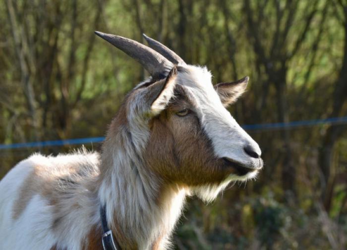 Генетически модифицированные козы будут давать антираковое молоко