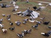 Поцелуй больного голубя и умри!