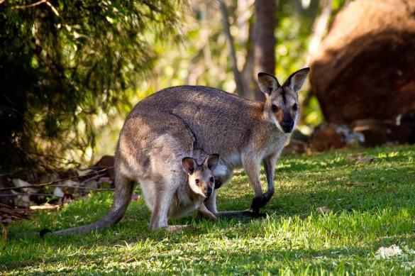 Древние австралийцы сосуществовали с огромными кенгуру и ящерицами