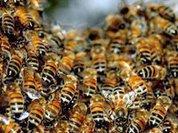 Миллионы пчел атаковали водителей после ДТП