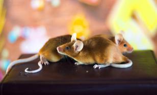 Декоративные мыши: история создания