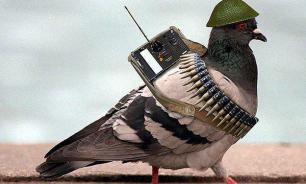 История единственного в мире голубя с боевой наградой Шер Ами