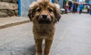 Собаки седеют из-за стресса