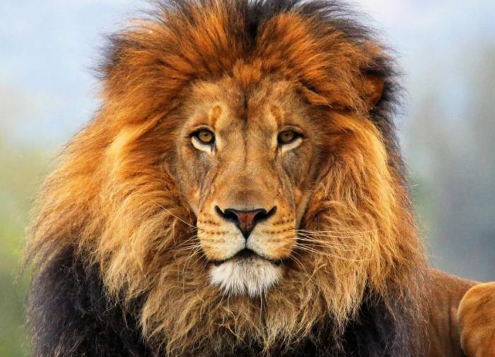 Мельница мифов: лев — синоним трусости!