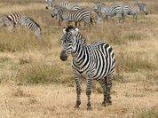 Для чего зебрам их тельняшки