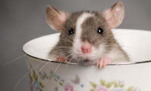 Крысу можно полюбить за преданность
