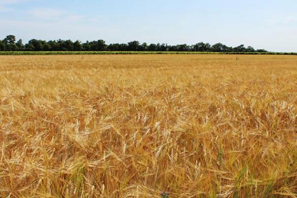 Украина: низкий Спрос на фуражную пшеницу