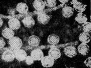 Вирусы любят сытых жертв