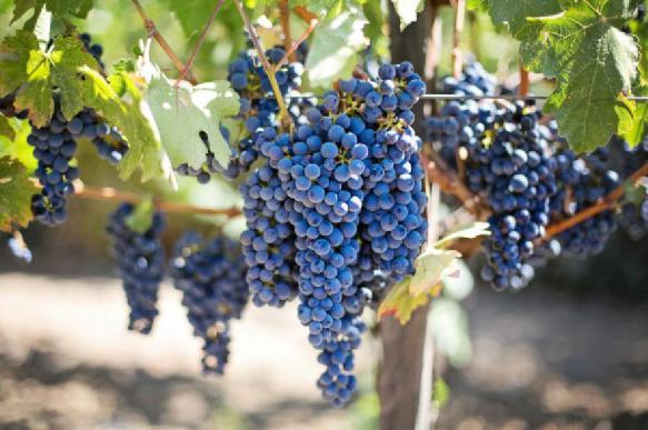 Попович: пользу от закона о виноделии регионы почувствуют нескоро