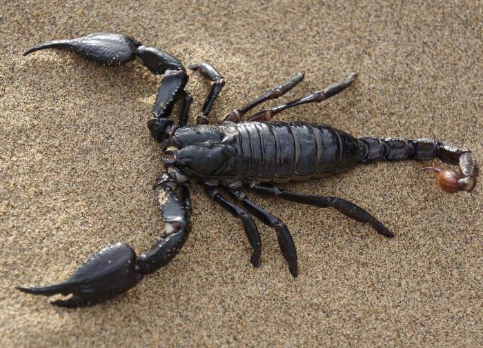Биохимики создали лекарство от рака на основе яда скорпиона