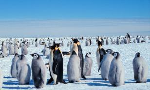 Гигантские пингвины обитали в Новой Зеландии