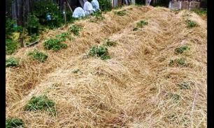 Солома — идеальное решение для выращивания овощей