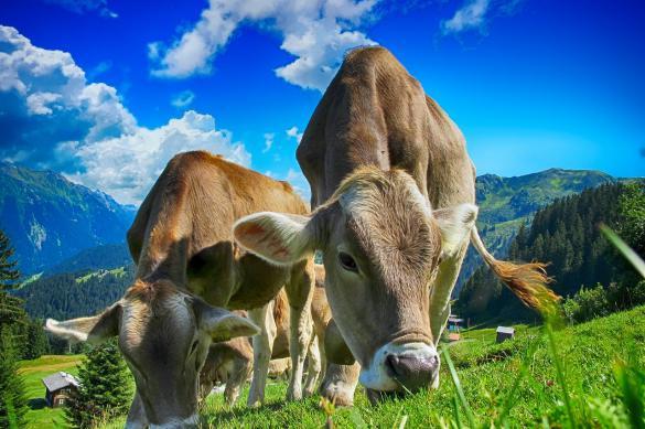 Интенсивное сельское хозяйство повышает риск возникновения эпидемий