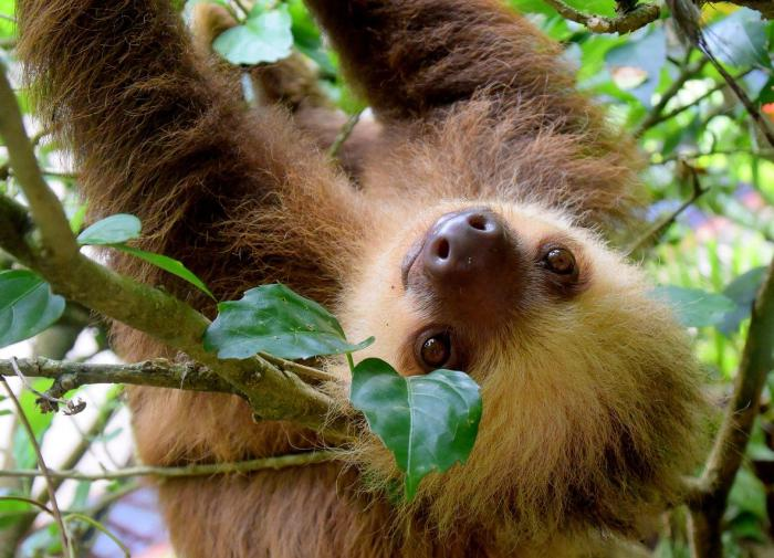 Бурогорлый ленивец удивил биологов новыми повадками