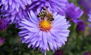 В Австралии обнаружили пчелу, которую не видели 100 лет