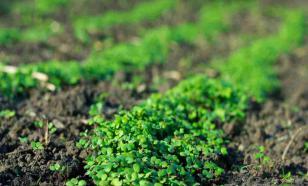 Что такое растения-сидераты и зачем они нужны?