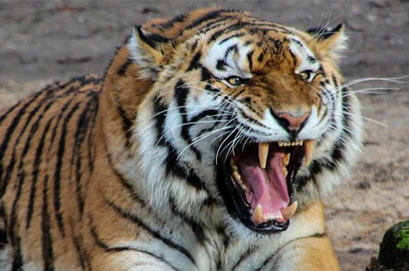 Тигрица из индийского зоопарка наказала дразнивших ее зрителей